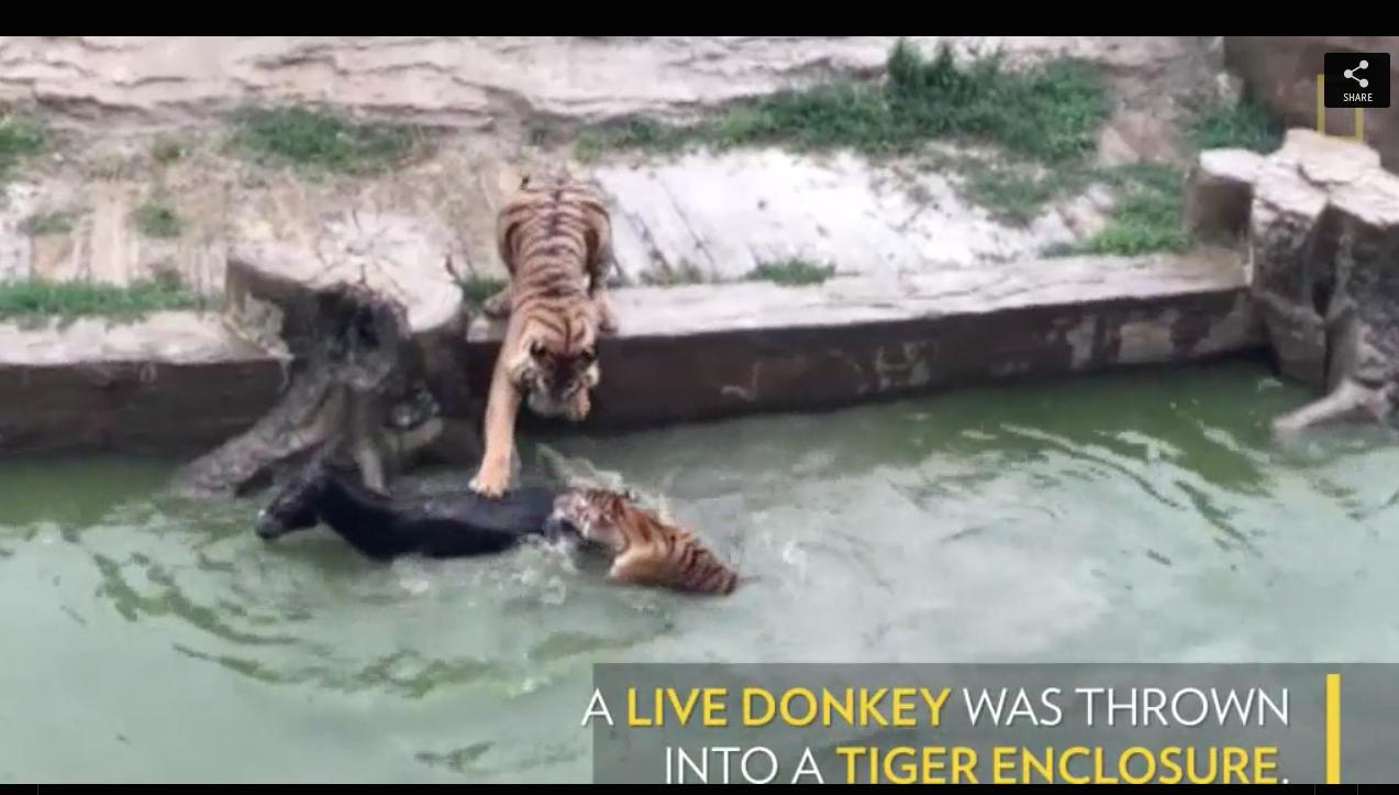 TigerDonkey.jpg